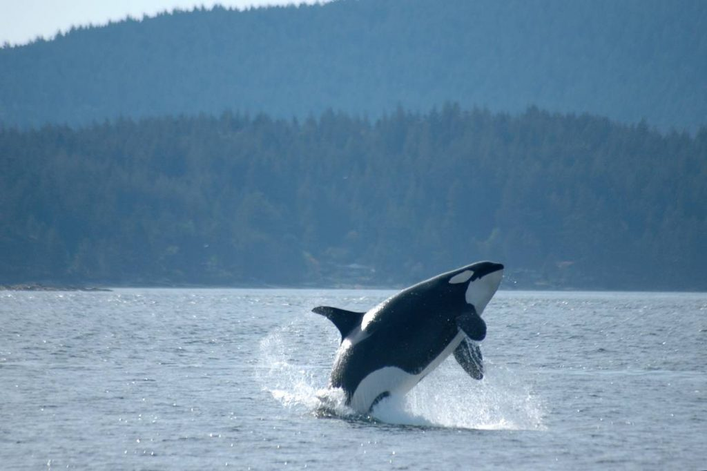 A female orca breaches in the Pacific Northwest