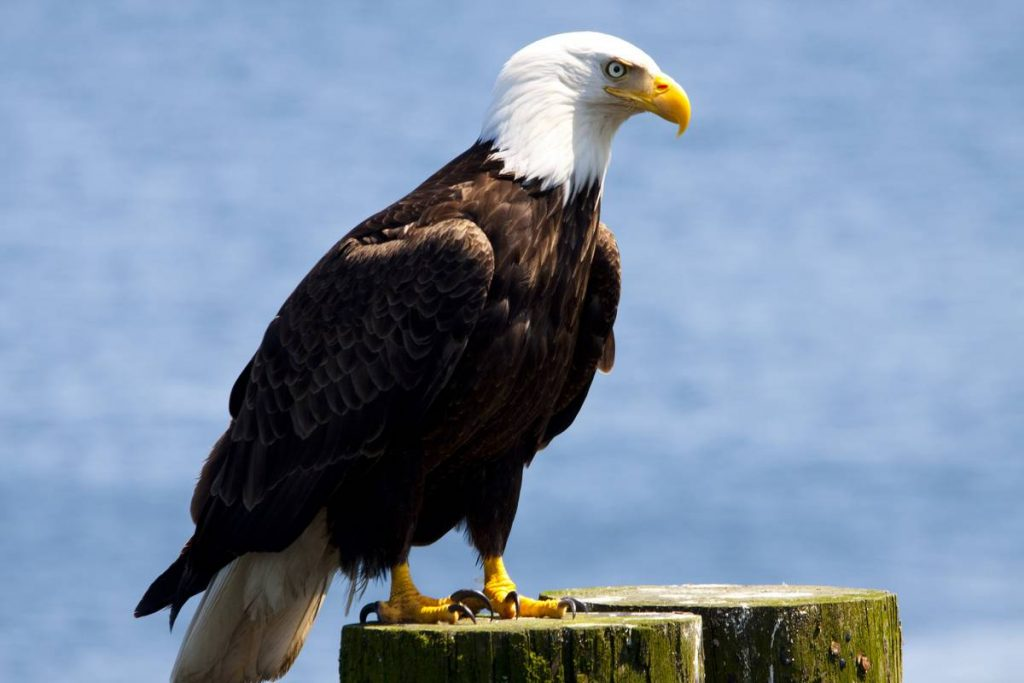 American Bald Eagle perched on pole. Blue sky background
