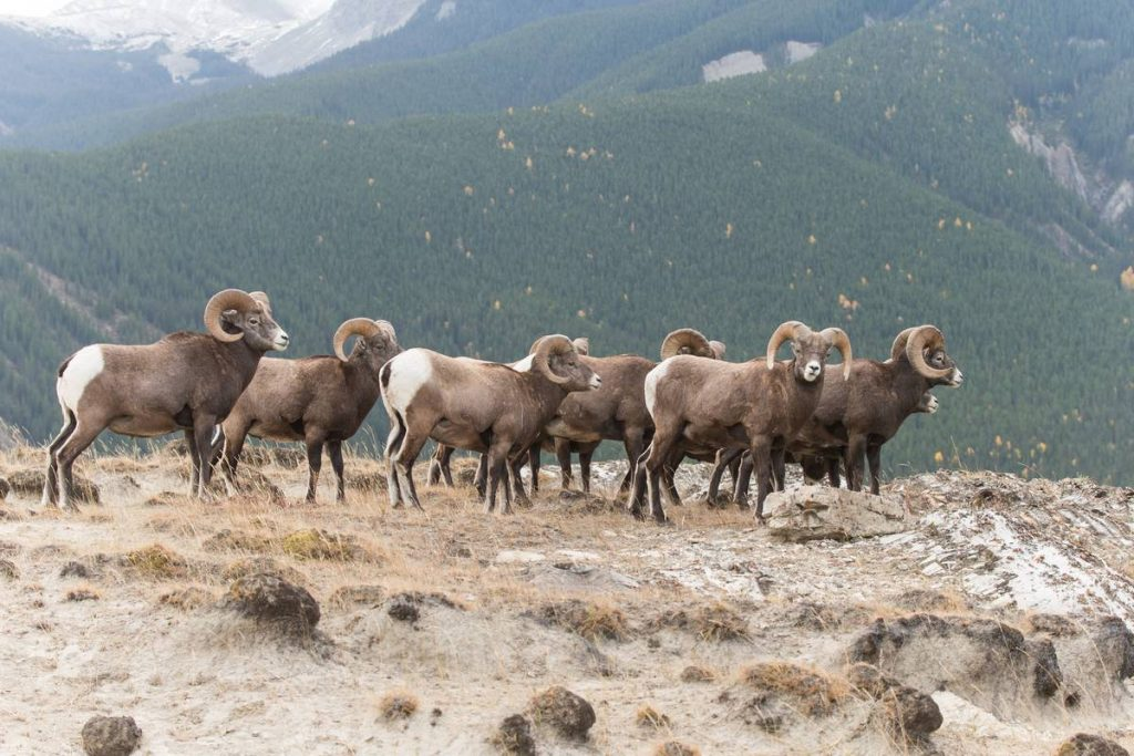 Big Horn Sheep Ram in Jasper National Park