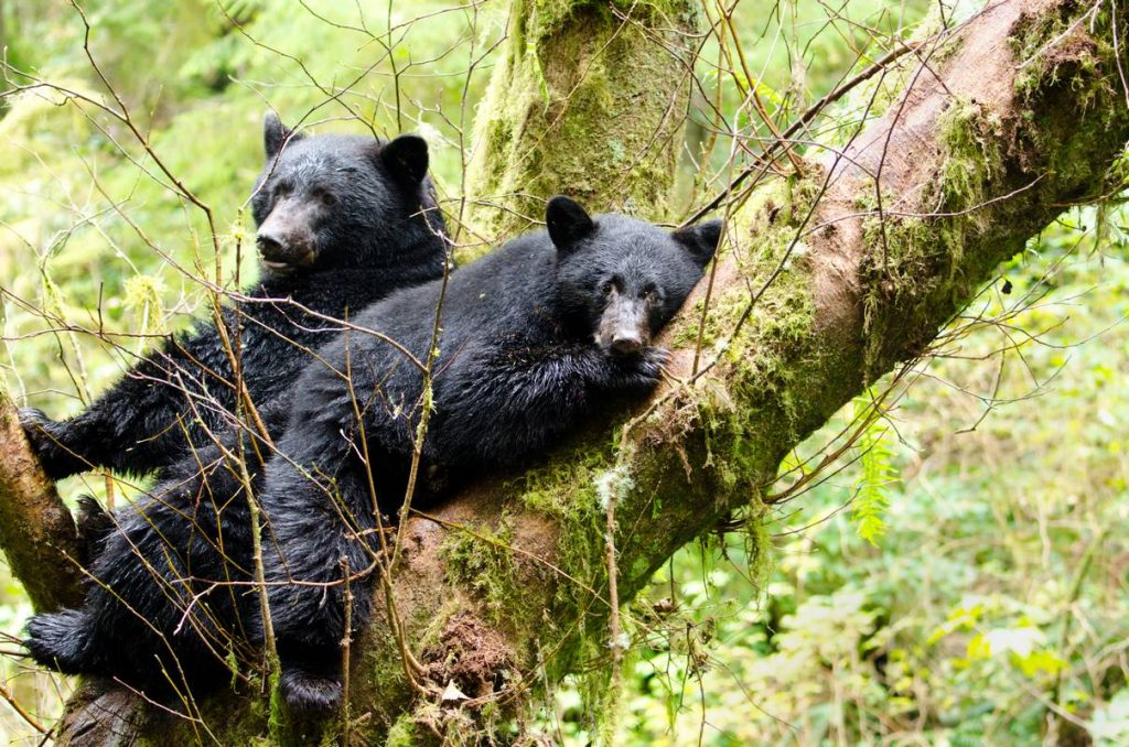 Black Bear Mother & Cub Resting in a Tree, British Columbia