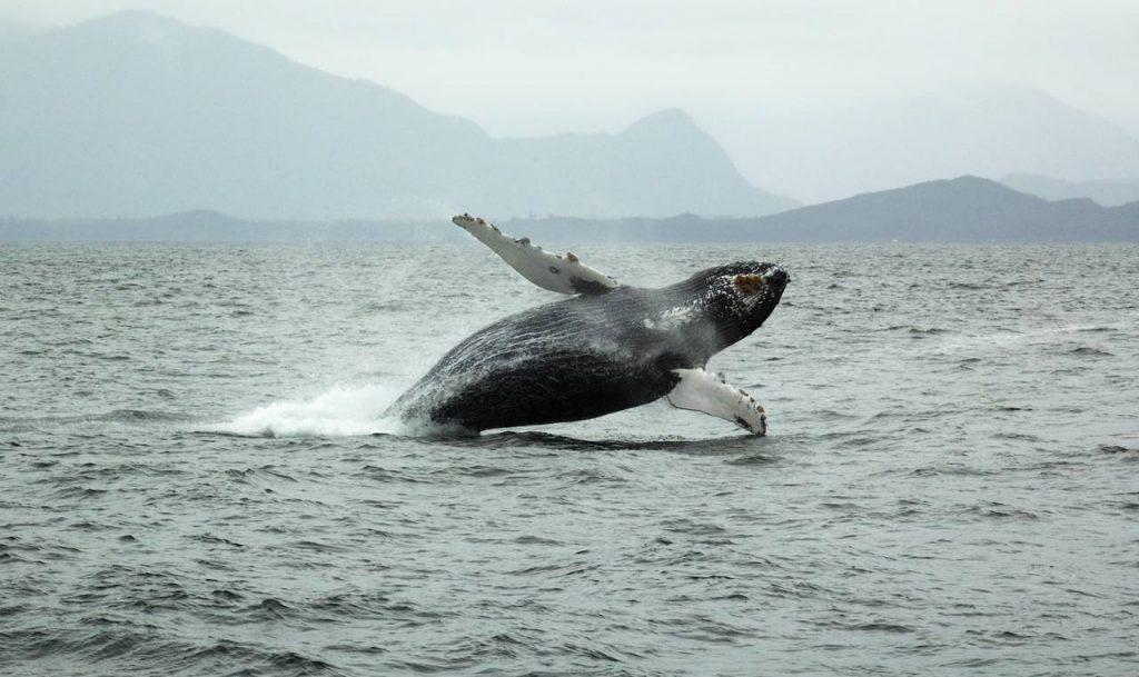 Breaching Humpback Whale near Tofino Vancouver Island