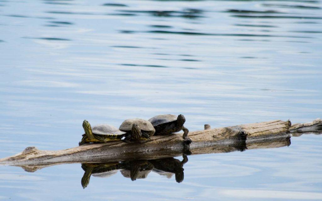 Canada schildpad shutterstock_3027101