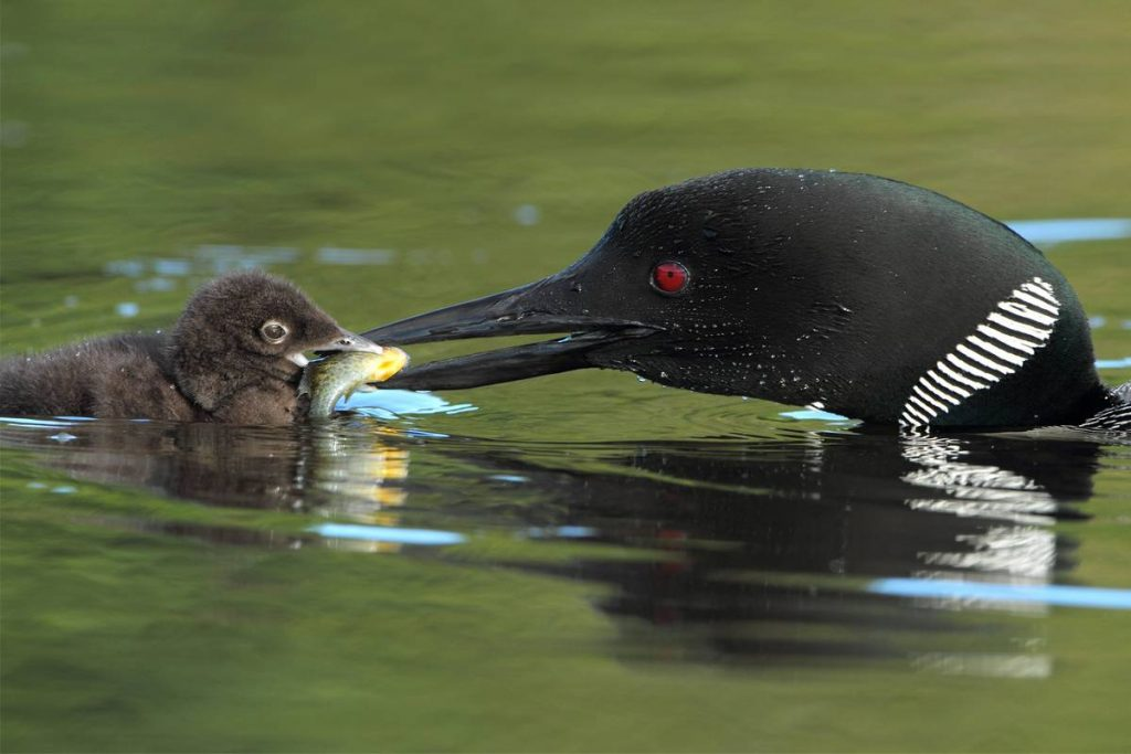 Closeup of Common Loon (Gavia immer)