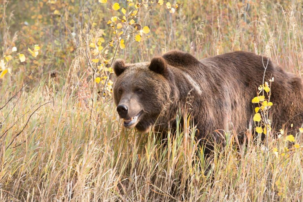 North American Brown bear in grassy field