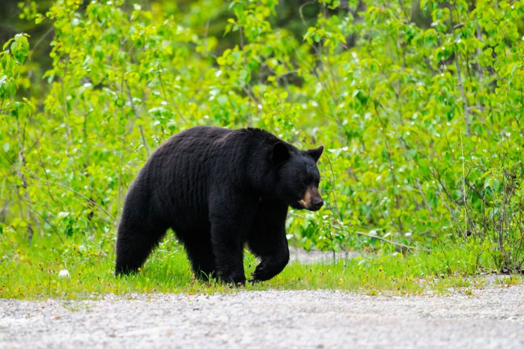 Wild Black Bear walking down a road, Jasper National Park